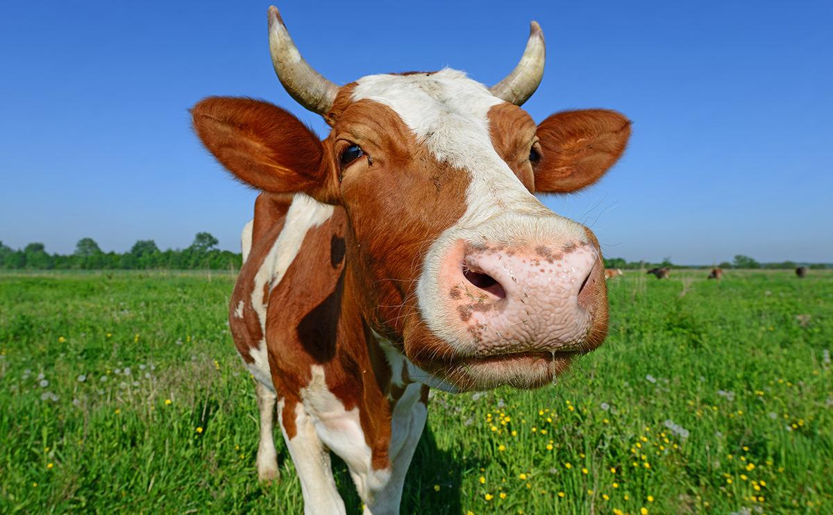cowhero2