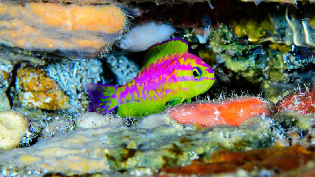 neon balık